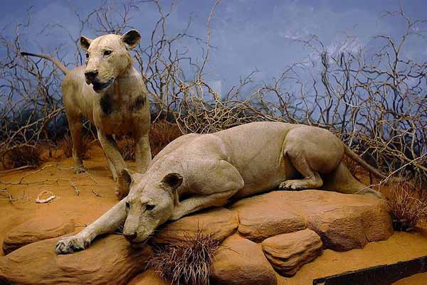 Tsavo-lions-Chicago-Jeffrey-Lung-wikipedia-May-2012-tiny